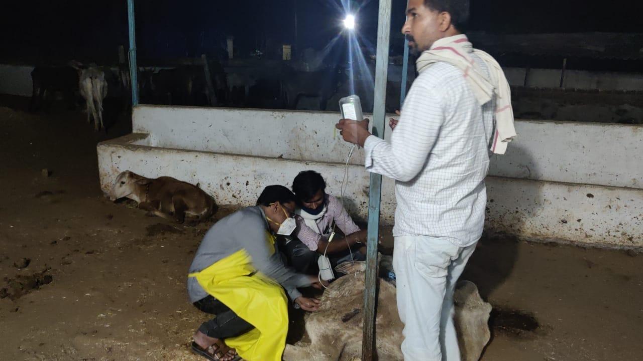 देर रात बीमार गायों का इलाज किया गया।