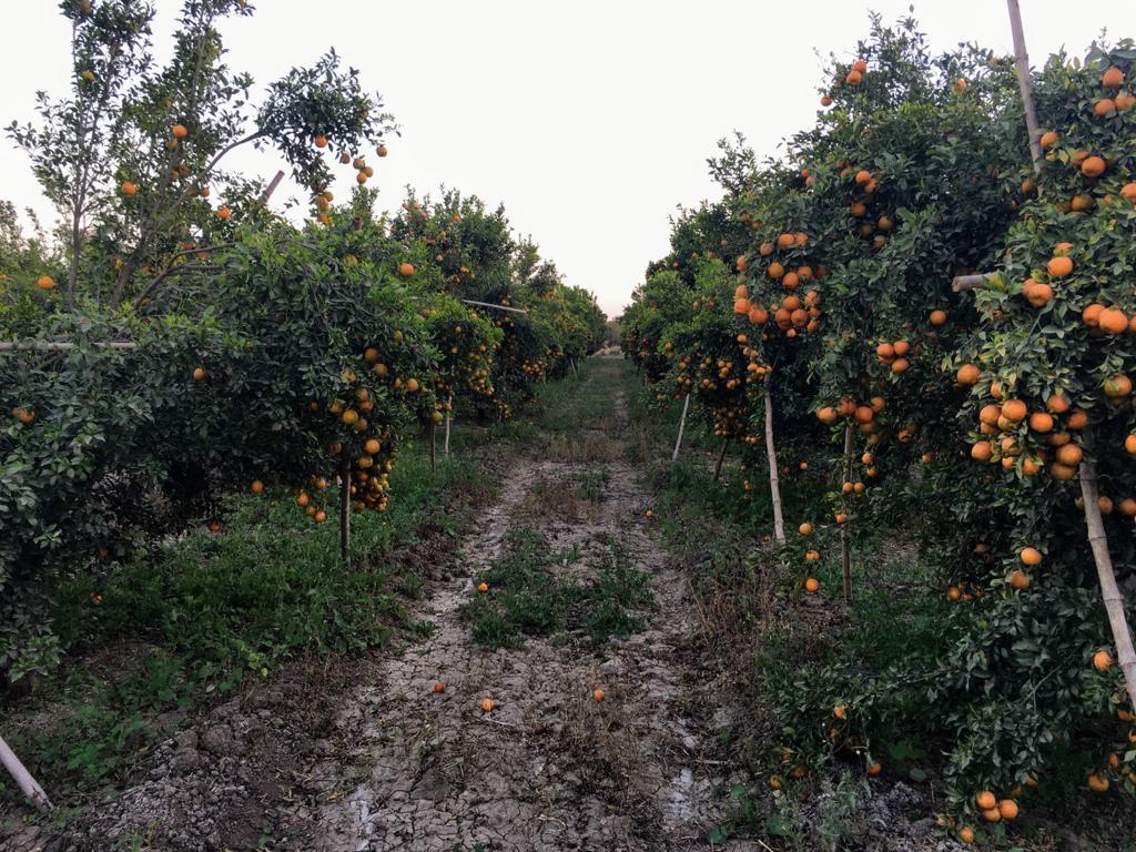 संतरे के बाग। - Dainik Bhaskar