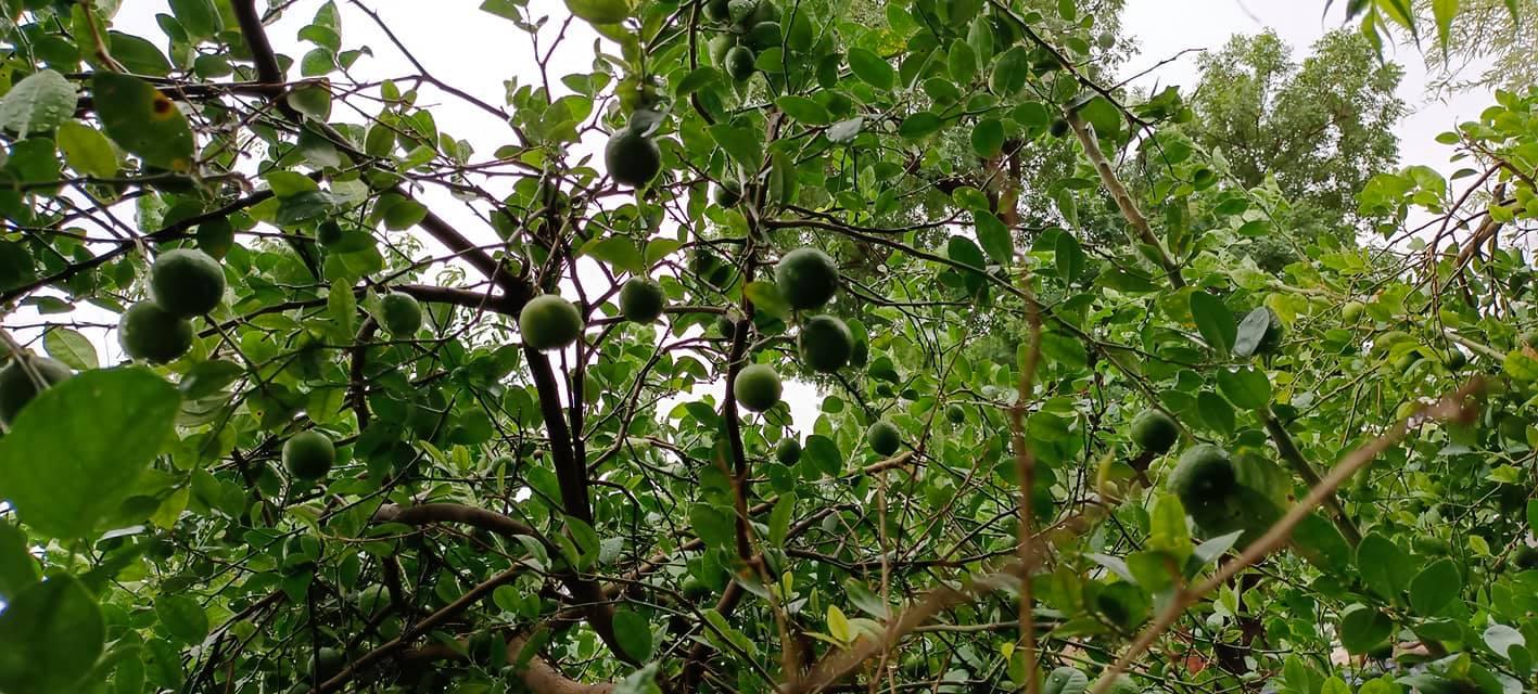 नींबू का पेड