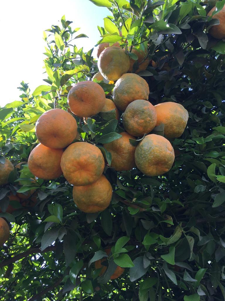 पेड़ों पर लगे संतरे।