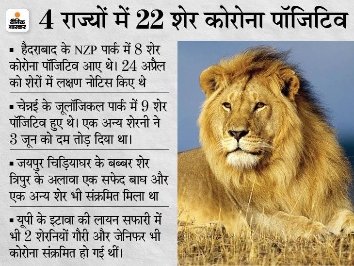 सभी टाइगर रिजर्व में टूरिज्म एक्टिविटी बंद, चेन्नई, जयपुर और हैदराबाद में शेरों में संक्रमण मिलने के बाद फैसला|देश,National - Dainik Bhaskar