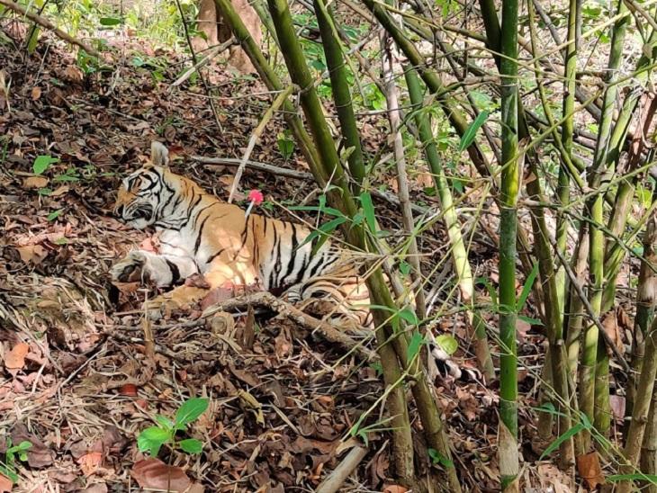 अचानकमार टाइगर रिजर्व में शिकारियों के बिछाए कांटेदार तार में फंसने की आशंका, कान्हा नेशनल पार्क की टीम ने बचाया छत्तीसगढ़,Chhattisgarh - Dainik Bhaskar