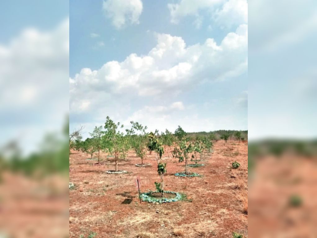 तुलसी दल और चम्मचनुमा पत्तों से लेकर बेल जैसे बरगद की 26 प्रजातियां हैं इंदौर में|इंदौर,Indore - Dainik Bhaskar