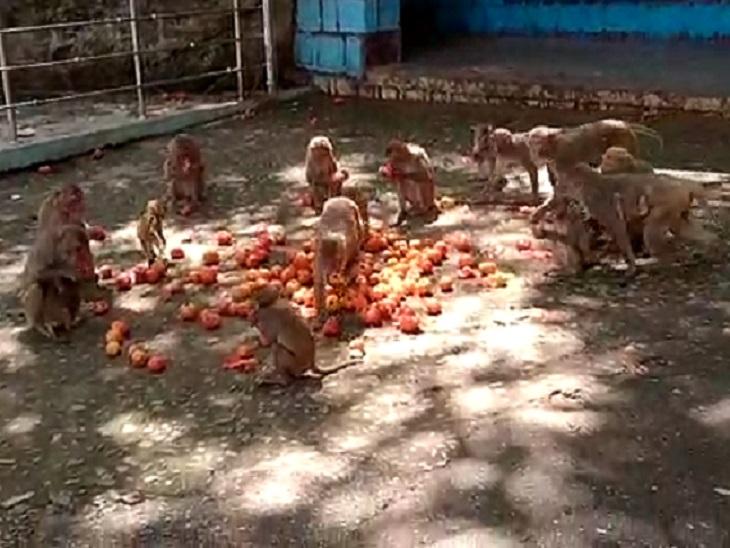 कुदरगढ़ी धाम में आने वाले श्रद्धालुओं से मिलने वाले प्रसाद और अन्य चीजों पर ही यह बंदर निर्भर हैं।