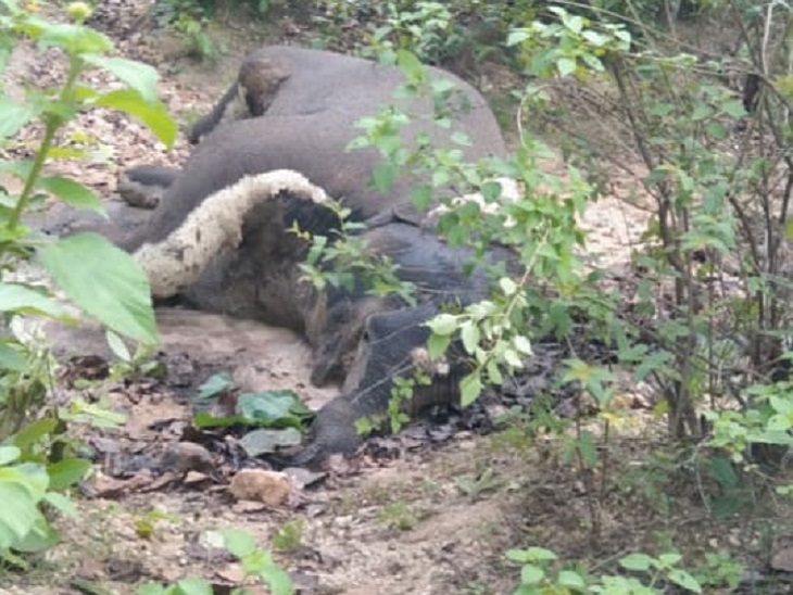 सूरजपुर में नर दंतैल हाथी का मिला सड़ा-गला शव, 10 से 12 दिन पहले मरने की आशंका; अफसर बोले- अंदरूनी क्षेत्र, इसलिए पता नहीं चला|छत्तीसगढ़,Chhattisgarh - Dainik Bhaskar