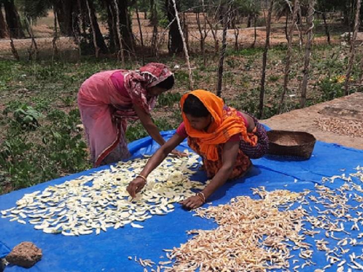 बस्तर मेंं महुआ के बाद आम ग्रामीणों की आजीविका का सबसे बड़ा साधन है। यही वजह है कि अब महिलाएं अमचूर पाउडर बनाएंगी। जो देश भर में डैनेक्स अमचूर के नाम से बिकेगा।