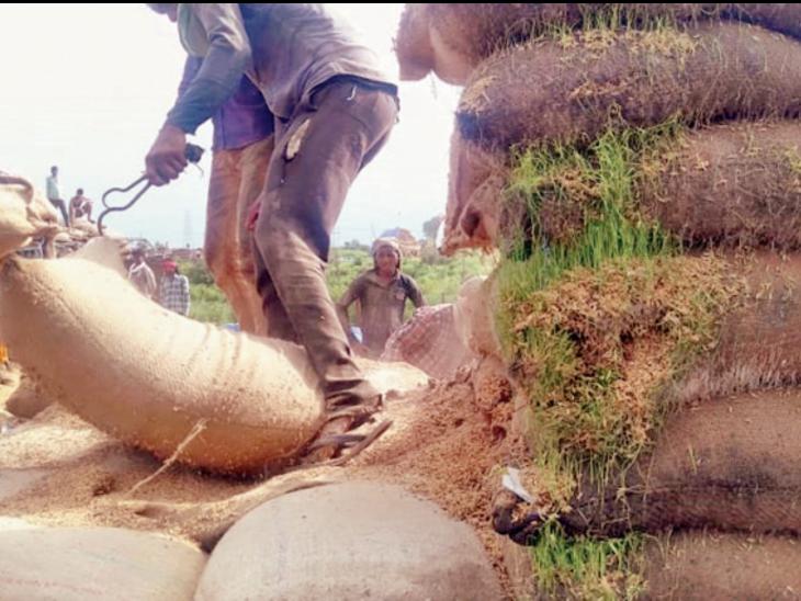 एक साल से खुले में रखा 550 करोड़ का तीन लाख टन से ज्यादा धान सड़ा|भोपाल,Bhopal - Dainik Bhaskar
