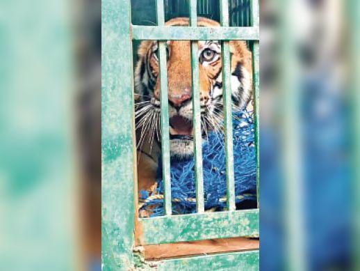 रेस्कयू किया गया बाघ। - Dainik Bhaskar