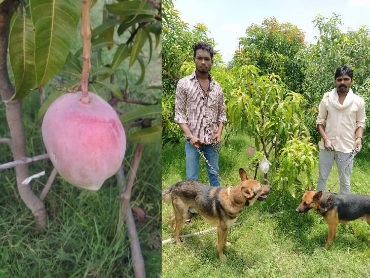 MP के किसान ने 2.5 लाख रु. किलो कीमत वाले आम लगाए, इनकी सुरक्षा में 4 गार्ड और 6 कुत्ते तैनात|जबलपुर,Jabalpur - Dainik Bhaskar