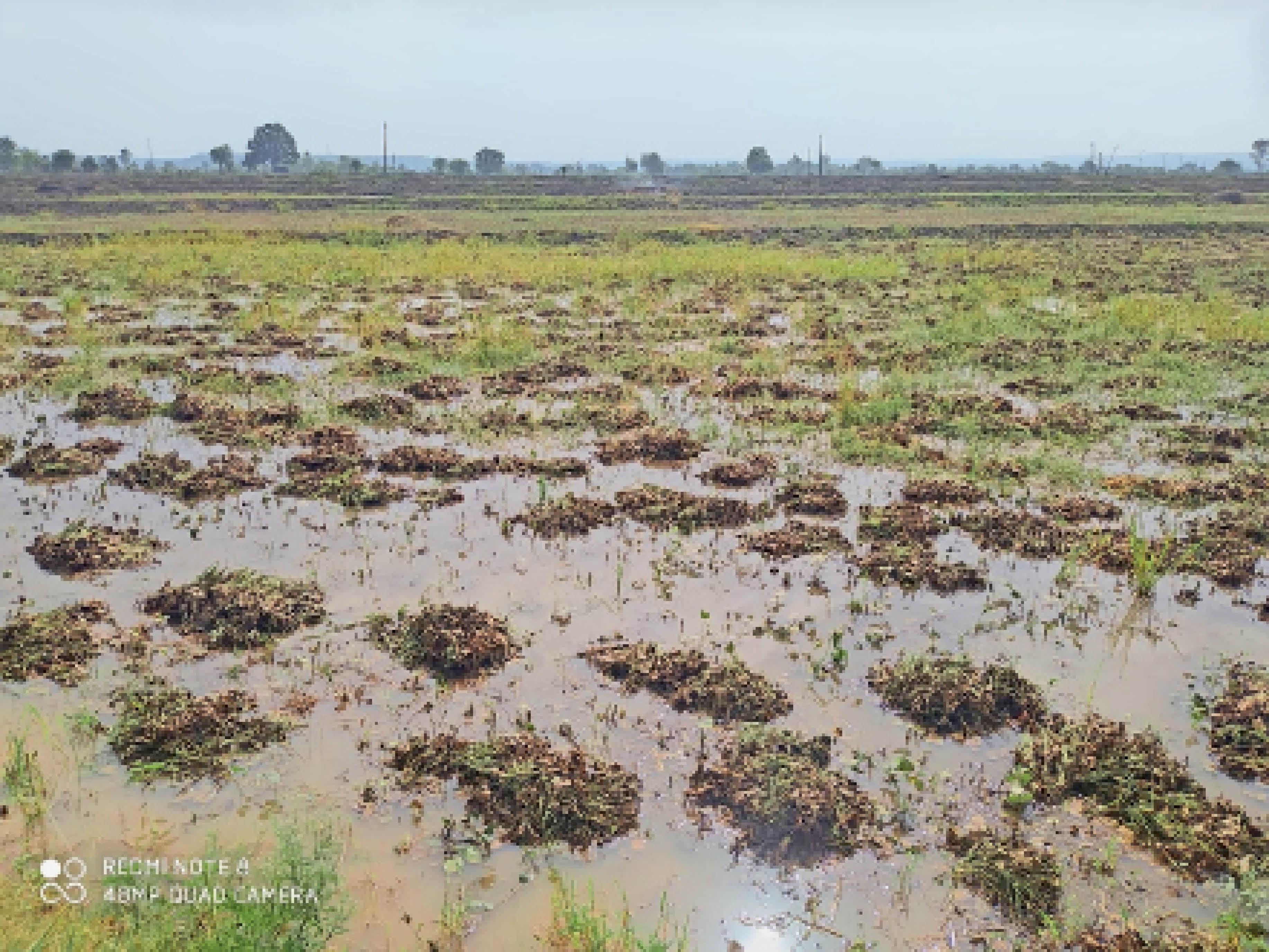 खेतों में तैरने लगी कटी हुई मूंग की फसल, 60 प्रतिशत फसल खेतों में - Dainik Bhaskar