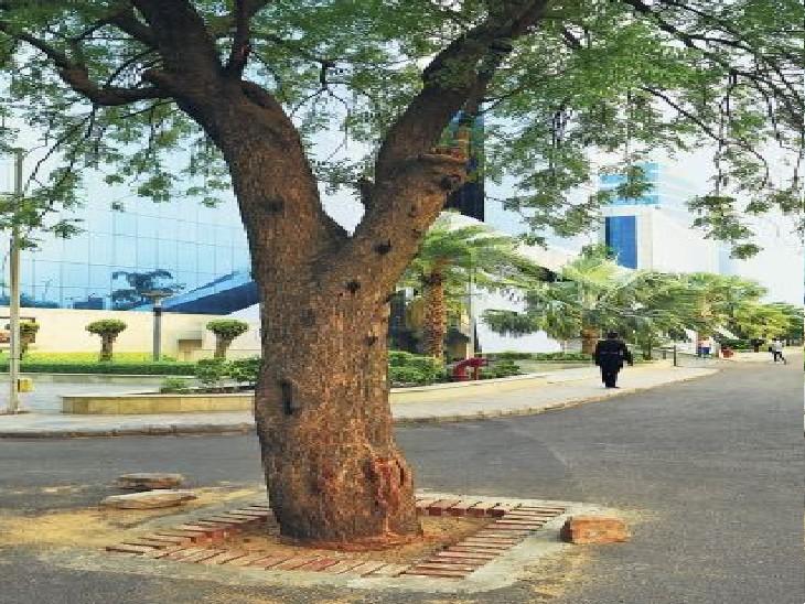 10 सड़कें, 82 किलोमीटर, 1640 पेड़ों को जीवनदान के लिए ट्री-प्लांट ग्रेटिंग शुरू जयपुर,Jaipur - Dainik Bhaskar