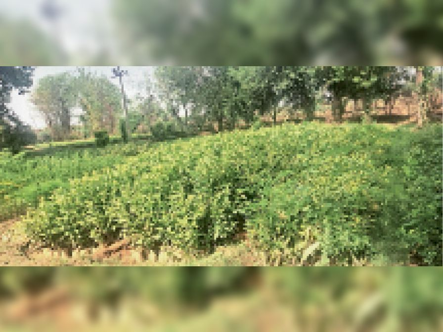 वन विभाग की नर्सरी में तैयार पौधे। - Dainik Bhaskar