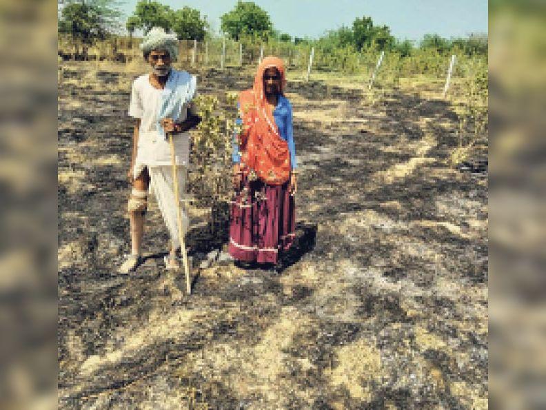 महू के गजानंद मीना के खेत में आग लगने से नष्ट हुए अमरूद के पौधे दिखाता। - Dainik Bhaskar