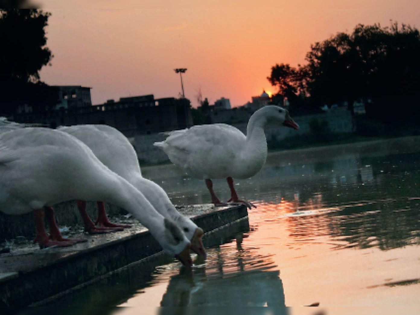 कैथल| गर्मी से परेशान बतखें विदक्यार झील में पानी पीती हुईं। फोटो-जसविंदर जस्सी - Dainik Bhaskar