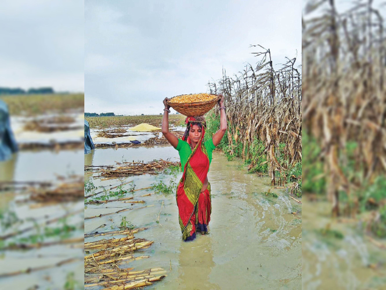 यास की वजह से हुई बारिश में डूबा तैयार अनाज। - Dainik Bhaskar