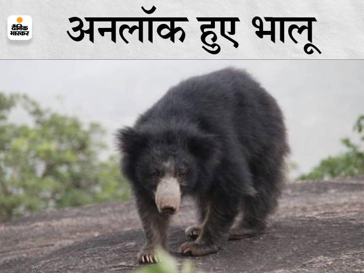 लॉकडाउन में चहल-पहल बंद हुई तो अधर देवी की पहाड़ियों से रहवासी कॉलोनियों में पहुंच रहे भालू, 300 से ज्यादा भालूकी फैमिली हैं यहां|माउंट आबू,Mount abu - Dainik Bhaskar