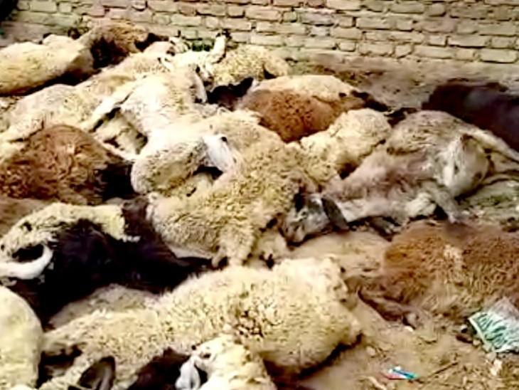 इटावा कस्बे में अज्ञात हिंसक जीव के हमले में 47 भेड़ की मौत का मामला सामने आया है - Dainik Bhaskar