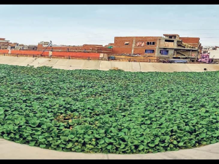 'द्रव्यवती' के 47 किलोमीटर के पक्के नाले में 'रिवर' तो नहीं बही, 'फ्रंट' पर मलबे-गंदगी में अब सिर्फ जलकुंभी का 'विकास'|जयपुर,Jaipur - Dainik Bhaskar