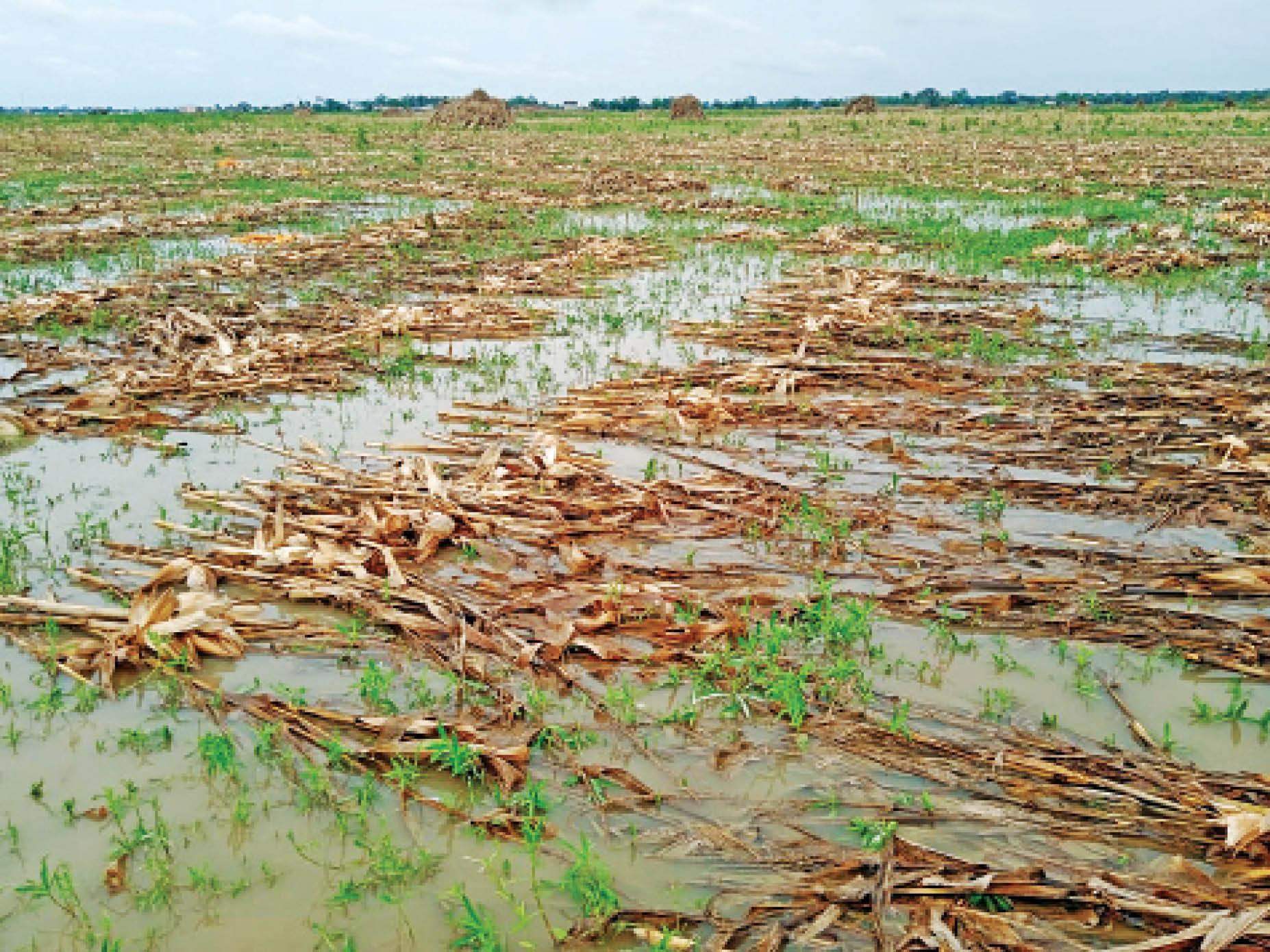 सहरसा में यास तूफान के दौरान हुई बारिश में मक्के की फसल डूबकर नष्ट हो गई। - Dainik Bhaskar