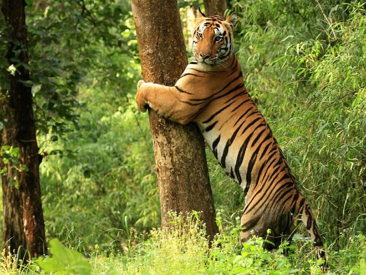 मध्यप्रदेश के कान्हा टाइगर रिजर्व में घूमता एक बाघ।