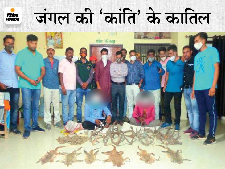 दो तस्करों से 6 मॉनिटर लिजर्ड के चमड़े, पैंगोलिन स्केल और सांभर-चीतल के सींग जब्त; UP से छत्तीसगढ़ तक नेटवर्क जबलपुर,Jabalpur - Dainik Bhaskar