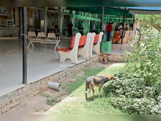 कुत्ते ने काटा ताे एआरवी काेर्स के एक हफ्ते बाद लग सकेगा काेराेना का टीका, जिले में राेज करीब 46 लोगों काे काटते हैं कुत्ते हिसार,Hisar - Dainik Bhaskar
