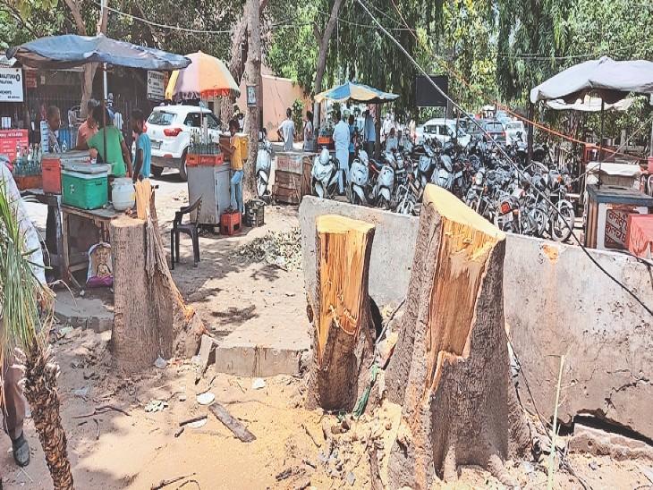 डीसी ऑफिस में बिना वजह 50 साल पुराने पेड़ काटे, चीफ सेक्रेटरी को भेजी शिकायत लुधियाना,Ludhiana - Dainik Bhaskar