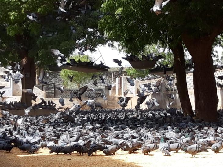 समय के साथ बढ़ रही कबूतरों की संख्या।