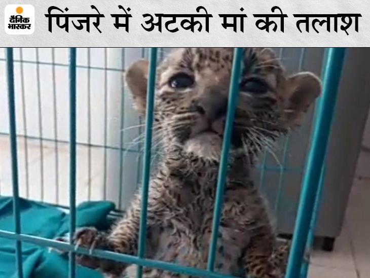 20 दिन पहले जन्मा पैंथर का बच्चा मां से बिछड़ गया था, अमेरिका से मंगवाया गया ये खास दूध पाउडर; खिलाई जा रही मल्टीविटामिन गोलियां|जयपुर,Jaipur - Dainik Bhaskar