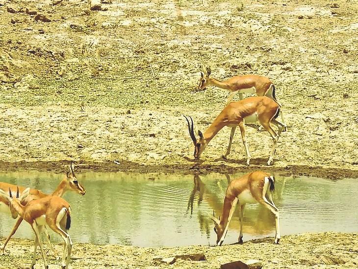 आठ साल से वन्य जीवों के संरक्षण में जुटे ग्रीनमैन राजपुरोहित ने 161 हरिणों को बचाया|बाड़मेर,Barmer - Dainik Bhaskar