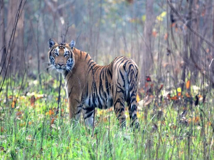 पीलीभीत टाइगर रिजर्व का जंगल बाघों के दीदार के लिए भी प्रसिद्ध है। पीलीभीत टाइगर रिजर्व के जंगल में इनका कुनबा लगातार बढ़ रहा है।