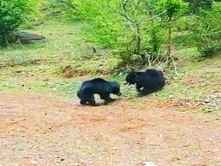 रामा ग्राम पंचायत में पहुंचे भालू।