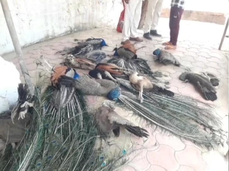 पनकी वाले हनुमान की पहाड़ी पर मिले 15 मोरों के शव, इनमें 8 मादा, जहरीला दाना देकर हत्या की आशंका|ग्वालियर,Gwalior - Dainik Bhaskar