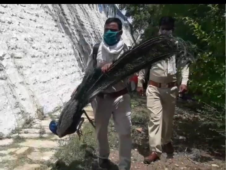 पुलिस और वन विभाग के जवान मोर के शव को पोस्टमाॅर्टम के लिए ले जाते हुए