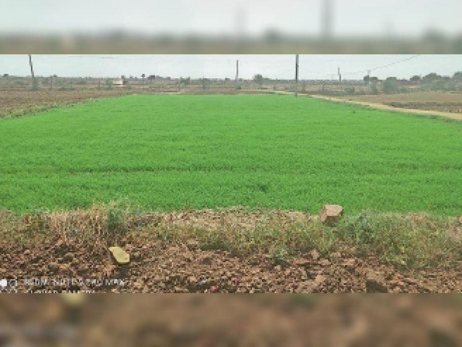 समय पर बिजली नहीं मिलने के कारण क्यारियों में उगाई धान की पौध बचाना भी हो रहा मुश्किल। - Dainik Bhaskar
