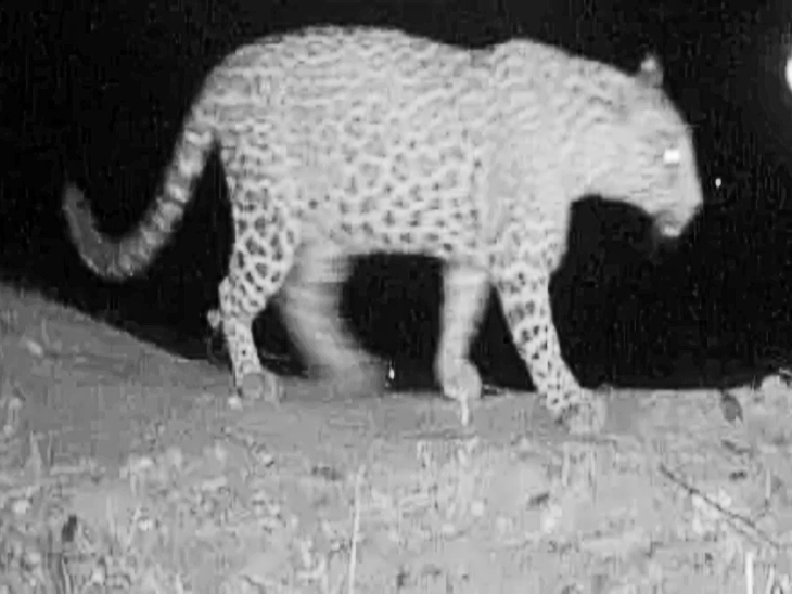 आदमखोर तेंदुए की तस्वीर।