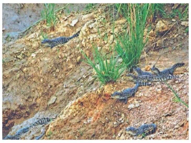 1000 से अधिक मगरमच्छ हैं अकेले रावतभाटा स्थित चंबल नदी में। रावतभाटा क्षेत्र में घड़ियाल एक भी नहीं है।