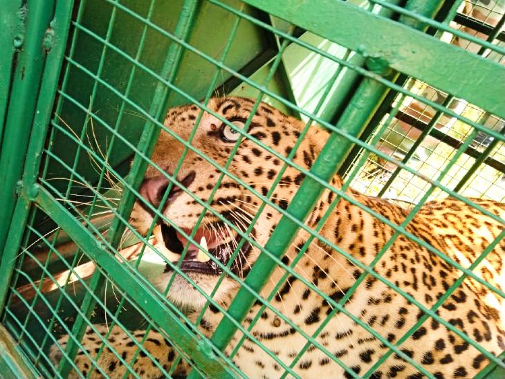 वन विभाग के पिंजरे में कैद हुआ तेंदुआ।