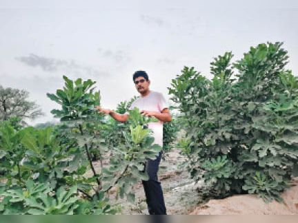 डबवाली | अंजीर बाग के फल दिखाते प्रगतिशील किसान पंकज बिश्नोई। - Dainik Bhaskar