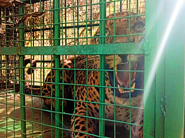 पिंजरे से दहाड़ता तेंदुआ।