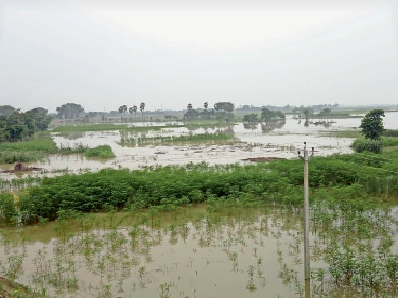 अमनी में कोसी के जलस्तर बढ़ने से डूबी फसल। - Dainik Bhaskar