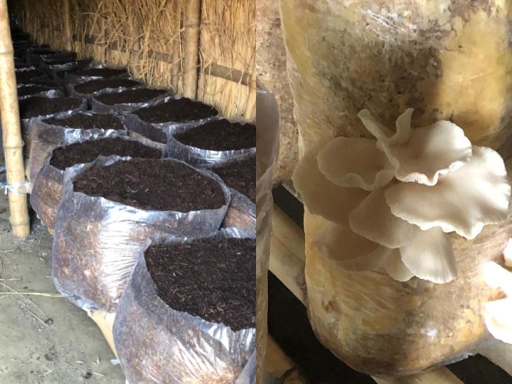 ऑर्गेनिक खाद में मशरूम का बीज डालकर पॉली बैग में रख दिया जाता है। इससे दो महीने बाद मशरूम निकलने लगता है।