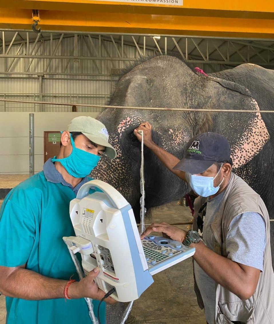 वाइल्डलाइफ एसओएस के हाथी अस्पताल में चल रहा है हथिनी का इलाज। - Dainik Bhaskar