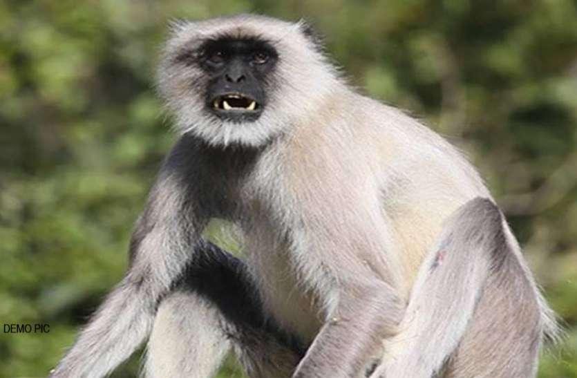 नगर निगम बंदरों को भगाने के लिए लंगूर पालने की तैयारी में, जल्द शुरू होगी टेंडर प्रक्रिया|बरेली,Bareilly - Dainik Bhaskar