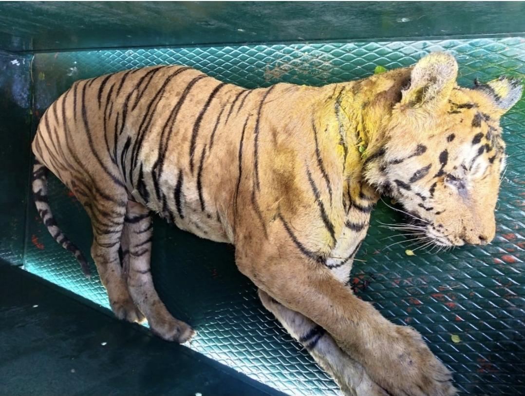 पेंच टाइगर रिजर्व का एक बाघ हुआ बुरी तरह से जख्मी, इलाज के लिए आज भेजा जाएगा भोपाल वन विहार छिंदवाड़ा,Chhindwara - Dainik Bhaskar