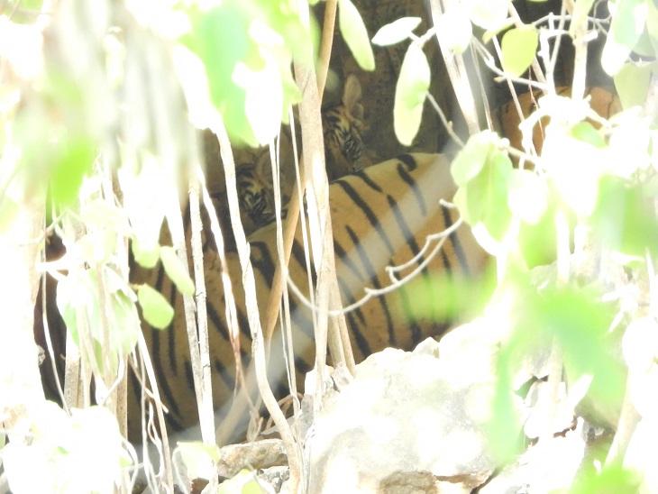 वनकर्मियों को दो शावकों के साथ नजर आई बाघिन एरोहेड टी- 84, अब 70 पर जा पहुंची संख्या, 2005 में थे सिर्फ 22 टाइगर|सवाई माधोपुर,Sawai Madhopur - Dainik Bhaskar