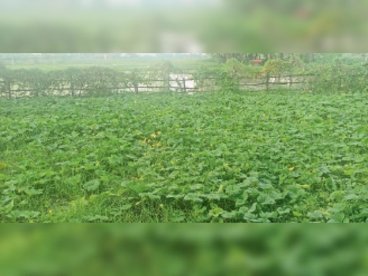 खेत में लगी सब्जी की फसल। - Dainik Bhaskar