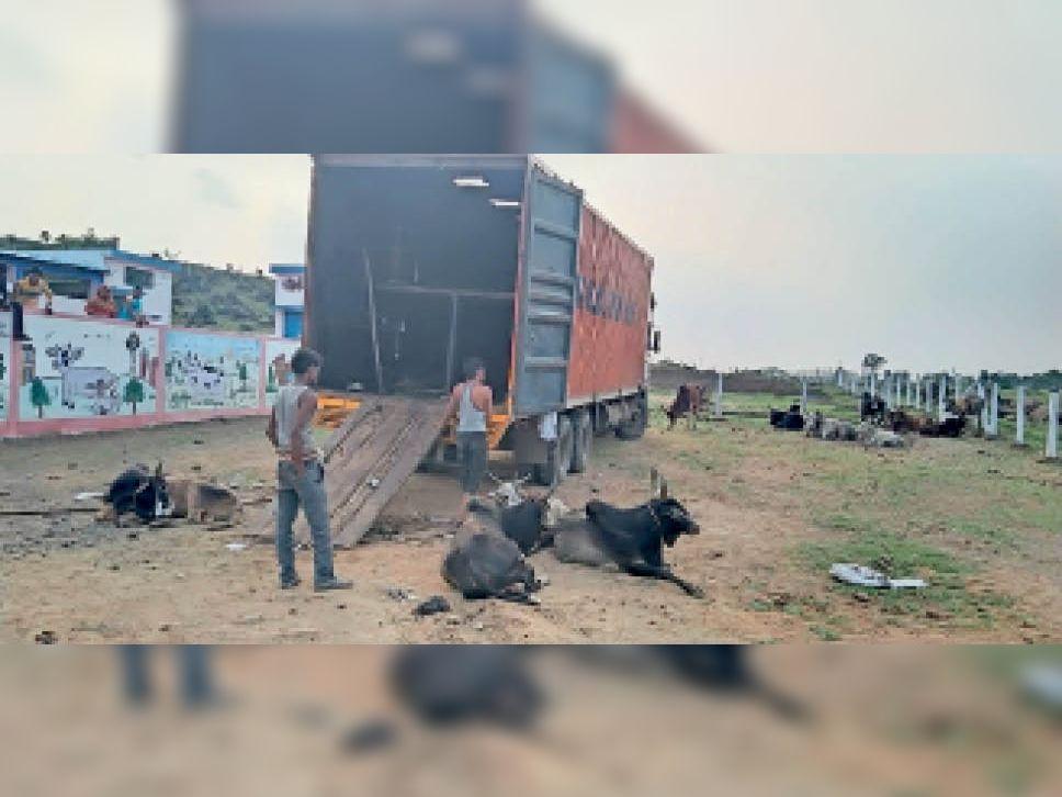 महाराष्ट्र सीमा के ससुंद्रा चेकपोस्ट पर ट्रक पकड़ा, भरे थे 61 मवेशी, सभी जब्त|बैतूल,Betul - Dainik Bhaskar