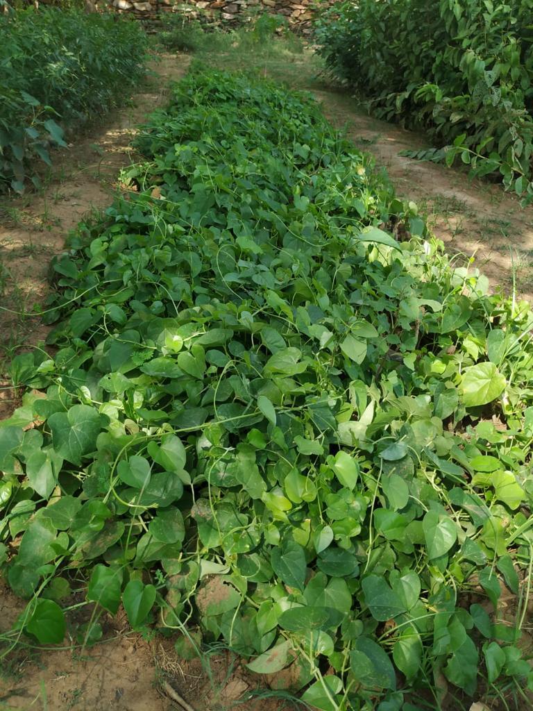 गिलोय के पौधे।