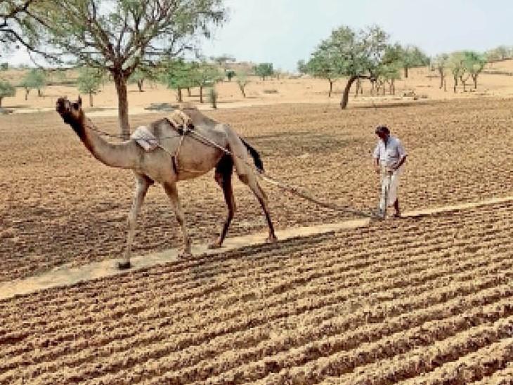 बाडमेर  | जिले में किसी जमाने में किसान ऊंट व बैलों से ही फसलों की बुआई करते थे, लेकिन पिछले कुछ सालों में ट्रैक्टरों का प्रचलन बढ़ने के बाद ऊंटों से जुताई का काम छूट गया। रतासर गांव के अर्जुनराम ऊंट से जुताई करते हुए। - Dainik Bhaskar